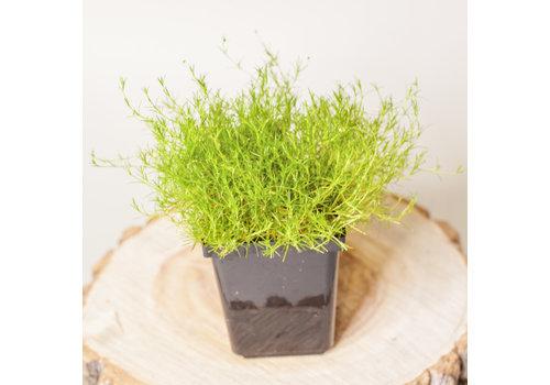 """Moss Irish Green 3.5"""""""