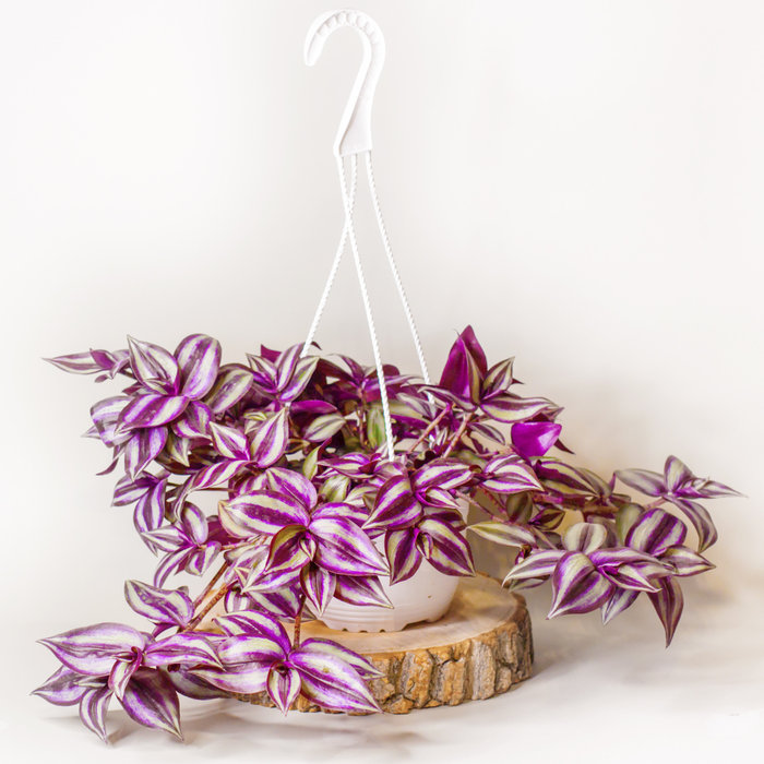 Purple Jew Hanging Basket 6""