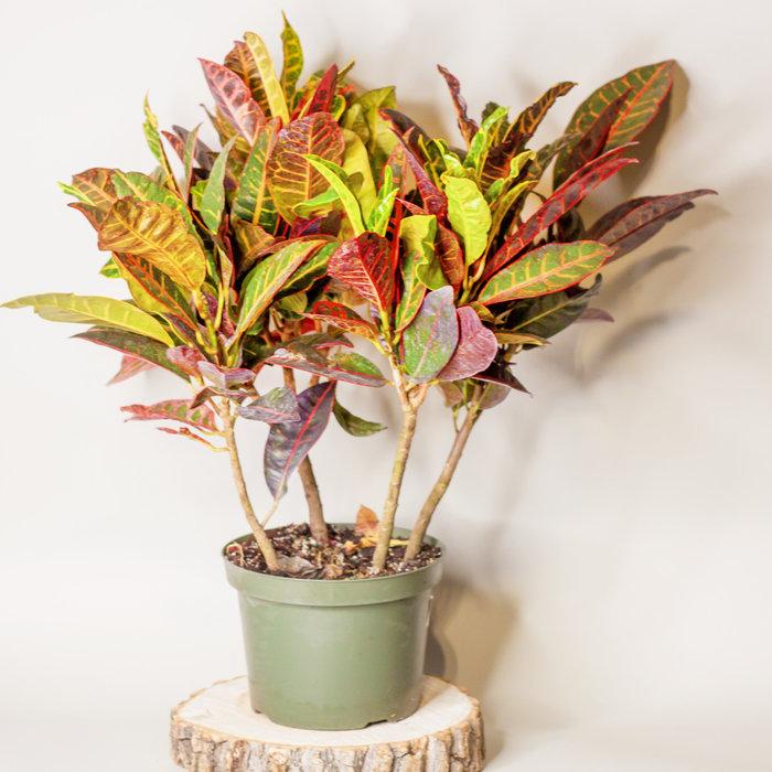 "Croton 8"""