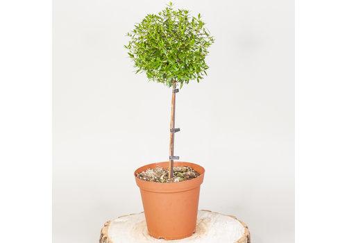 "Myrtle Dwarf Topiary 5"""