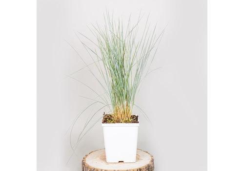 Grass Blue Oat