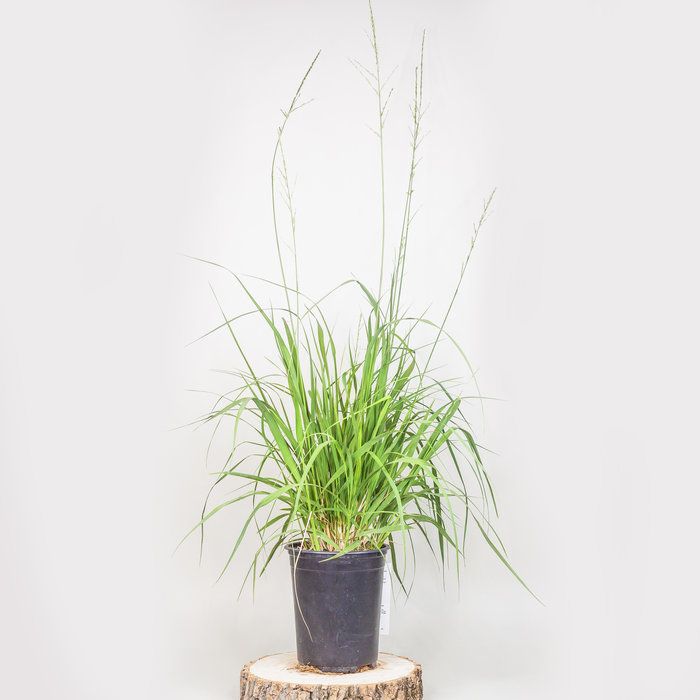 Grass Skyracer 1gal