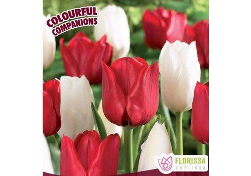 Colourful Companions Tulip Canadian Eh