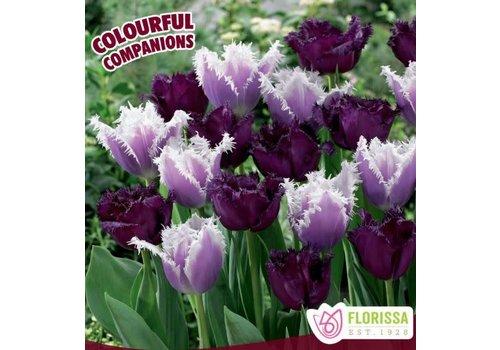 Colourful Companions Tulip Feathered Fascination