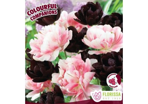 Colourful Companions Tulip Licorice Twist Package of 14