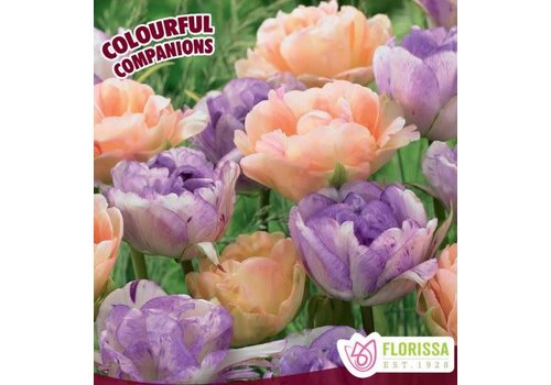 Colourful Companions Tulip Sweet English Rose