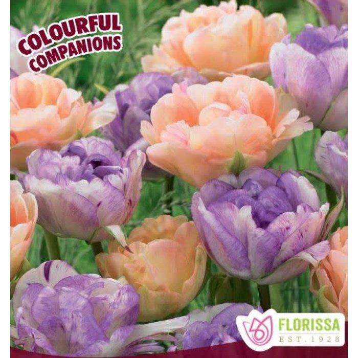 Tulip Sweet English Rose PRE-ORDER