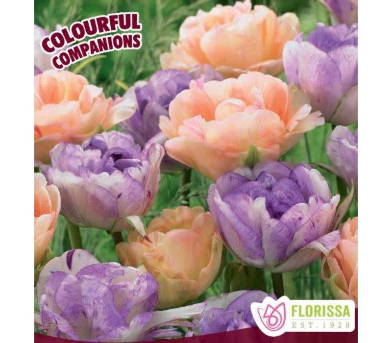 Tulip Sweet English Rose