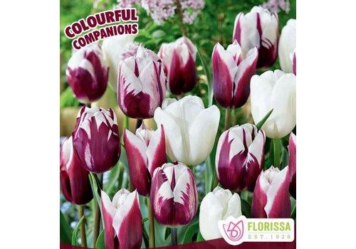 Colourful Companions Tulip Under The Stars