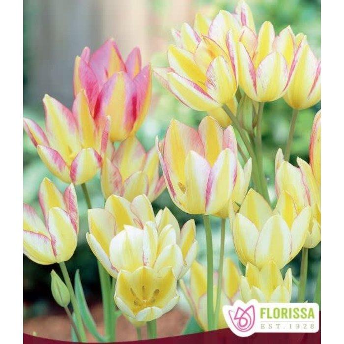 Tulip Antoinette PRE-ORDER