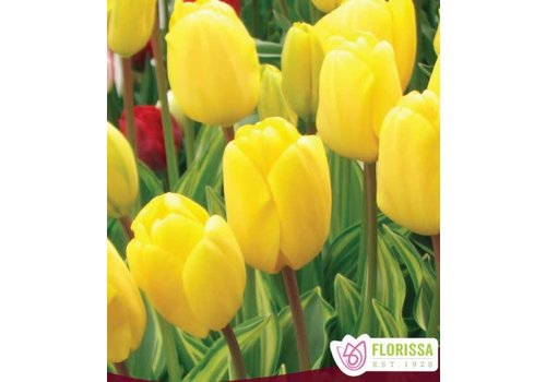 Tulip Yellow Wave Package of 6