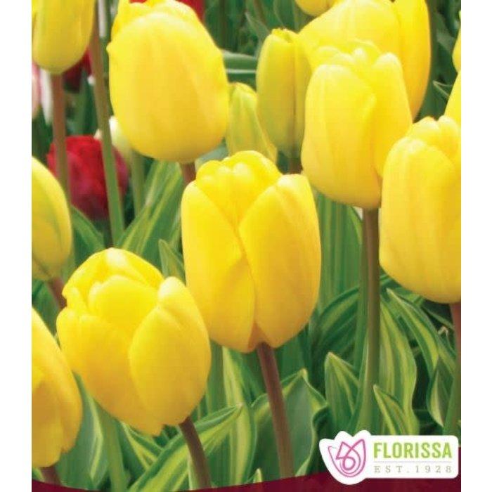 Tulip Yellow Wave PRE-ORDER