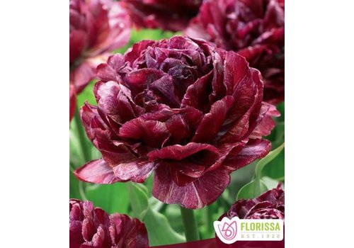 Tulip Double Peony Night Watchman Package of 3