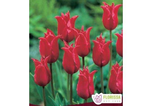 Tulip Pretty Woman