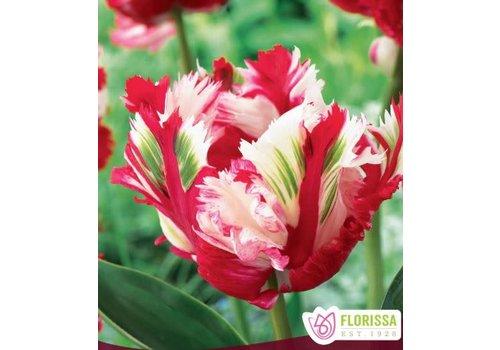 Tulip Estella Rynveld Package of 6