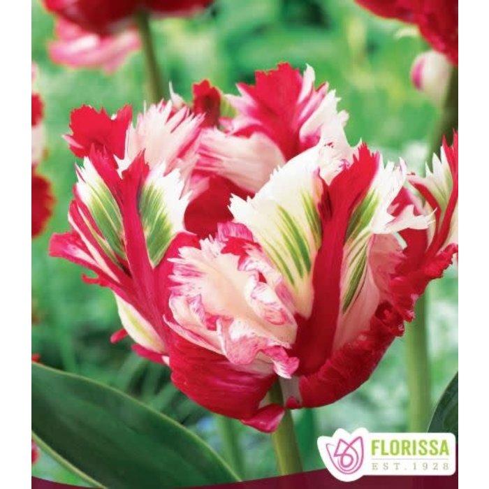 Tulip Estella Rynveld PRE-ORDER