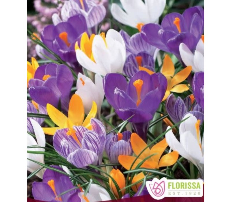 Crocus Mixed Colors Package of 10