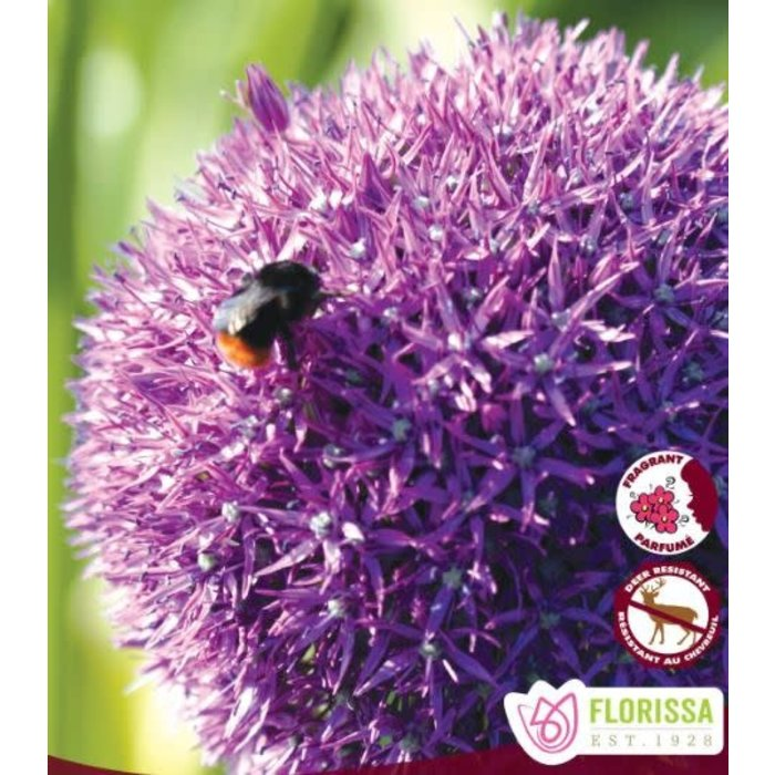 Allium Giganteum PRE-ORDER