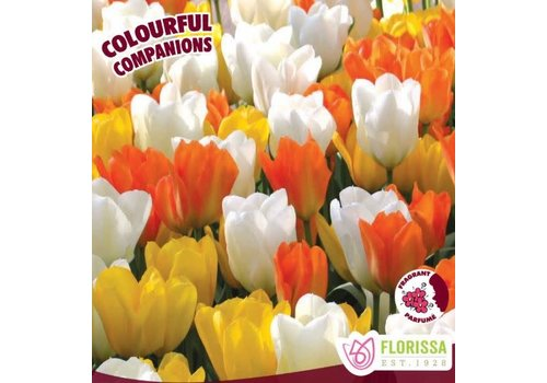 Colourful Companions Tulip Emperor Mix Package of 12