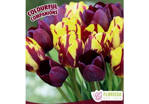 Colourful Companions Tulip Merlot Moment Package of 16