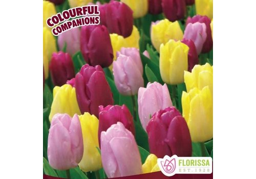 Colourful Companions Tulip Prince Trio Package of 16