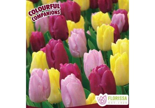 Colourful Companions Tulip Prince Trio