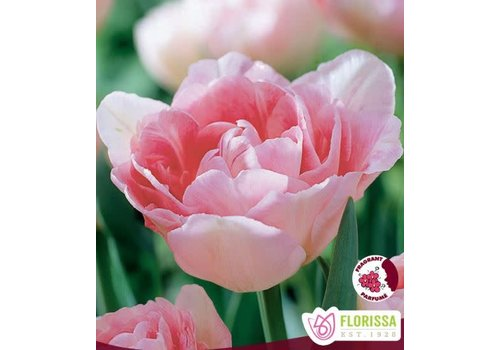 Mamm Pack Tulip Angelique Package of 12