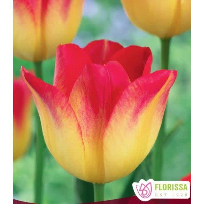 Tulip Suncatcher PRE-ORDER