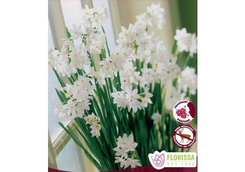 Narcissus Paperwhite Ziva Package of 3