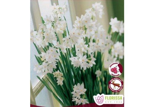 Narcissus Paperwhite Ziva