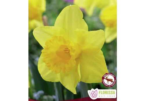 Narcissus King Alfred Package of 5