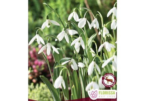 Snowdrops Galanthus Woronownii Package of 10