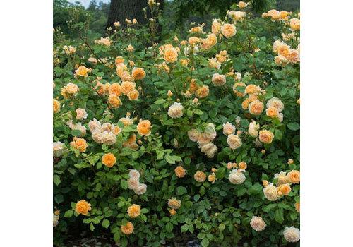 Rose Bill Reid