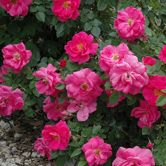 Rose Felix Leclerc