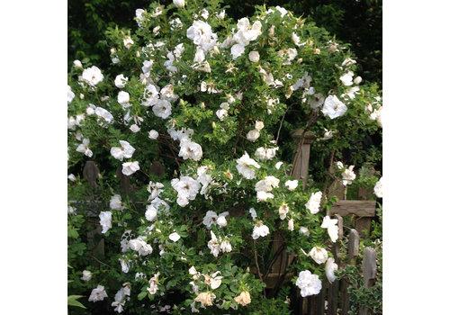 Rose Blanc de Coubert