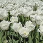 Tulip Fringed North Pole PRE-ORDER