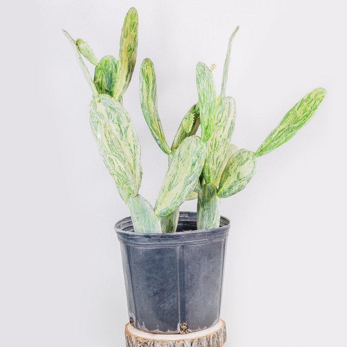 """Opuntia Cactus Variegated 10"""""""