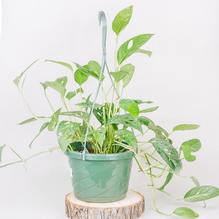 """Philodendron Swiss Cheese Hanging Basket 8"""""""