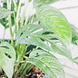 Philodendron Swiss Cheese Hanging Basket 8""