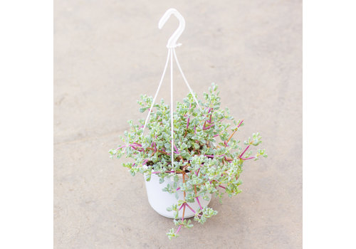"""Lampranthus Hanging Basket 6"""""""