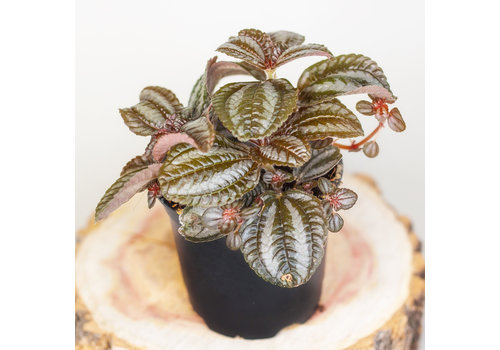 Pilea Norfolk 4""