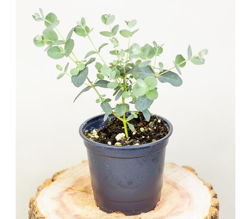 """Eucalyptus Silver Drop 4"""""""