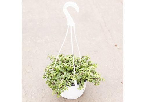 "Spekboom Variegated Hanging Basket 6"""