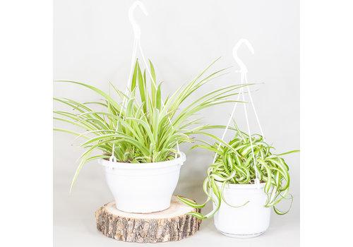 """Spider Plant Hanging Basket 6"""""""