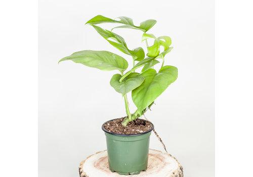 "Dutch Growers Monstera Split Leaf 4"""