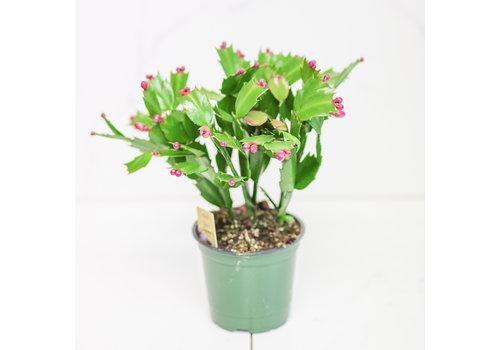 Dutch Growers Zygocactus