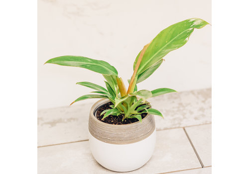 Philodendron Little Phil In Pot 4""