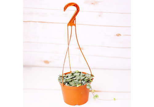 Dutch Growers String of Hearts Hanging Basket 6""