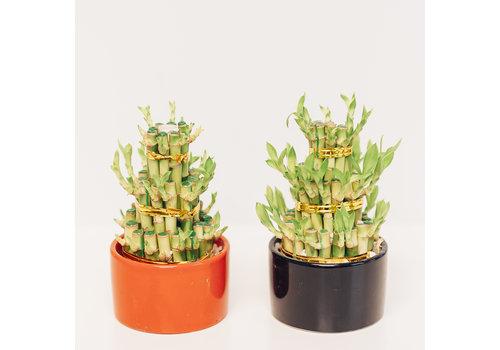 Dutch Growers Lucky Bamboo