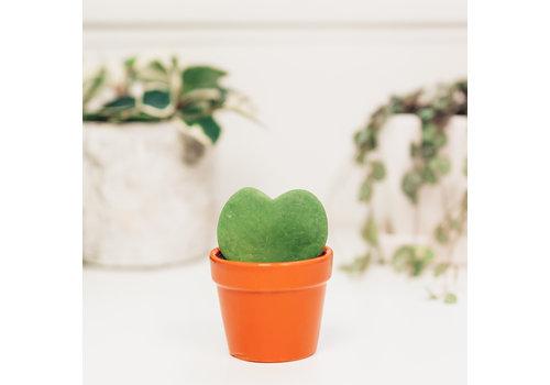 """Hoya Heart Leaf 2.5"""""""